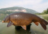 Carpfishing: la pesca alla carpa